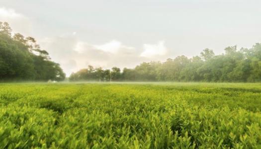 Visit America's Very Own Tea Plantation