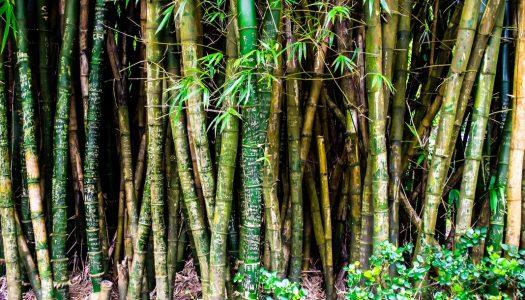 Book A Trip to Hawaii's Big Island Tea Forest
